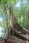 Borneo rainforest tree with buttress roots