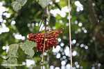 Red fruit -- borneo_4368