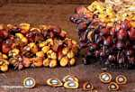 Oil palm fruit -- borneo_4508