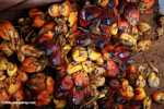 Oil palm fruit -- borneo_4528