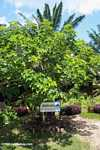 Jatropha curcas tree