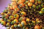 Ripe virescens oil palm fruit
