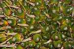 Green (unripe) oil palm fruit -- borneo_4542