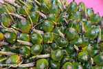 Green (unripe) oil palm fruit