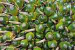 Unripe virescens oil palm fruit