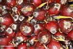 Dura oil palm