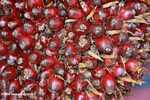 Dura oil palm -- borneo_4568
