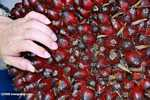 Dura oil palm -- borneo_4569