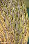 Female spikelets of oil palm -- borneo_4583