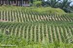 Young Oil palm trees -- borneo_4701