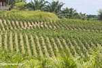 Young Oil palm trees -- borneo_4708