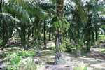 Oil palm plantation -- borneo_4709