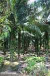 Oil palm plantation -- borneo_4710