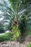 Oil palm tree -- borneo_4927