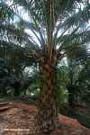 Oil palm tree -- borneo_4929