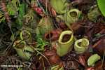Nepenthes rafflesiana pitcher plant
