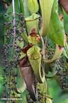 Slender pitcher plant (Nepenthes gracilis) -- borneo_4941