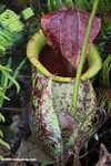 Giant Raffles' Pitcher-Plant (Nepenthes rafflesiana)