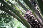 Oil palm fruit in the palm tree