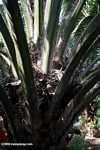 Oil palm fruit in the palm tree -- borneo_5023