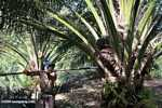 Harvesting oil palm fruit -- borneo_5025