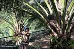 Harvesting oil palm fruit -- borneo_5026