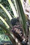 Harvesting oil palm fruit