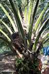 Harvesting oil palm fruit -- borneo_5032