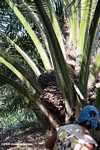 Harvesting oil palm fruit -- borneo_5034