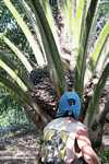 Harvesting oil palm fruit -- borneo_5037
