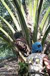 Harvesting oil palm fruit -- borneo_5038