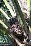 Palm oil fruit on the tree