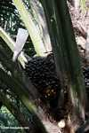 Palm oil fruit on the tree -- borneo_5050