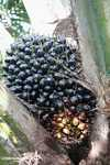 Palm oil fruit on the tree -- borneo_5053
