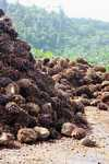 Piles of oil palm fruit at a palm oil mill