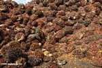 Piles of oil palm fruit at a palm oil mill -- borneo_5125