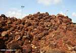 Piles of oil palm fruit at a palm oil mill -- borneo_5127