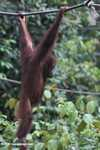 Young orangutan swinging from a rope at Sepilok