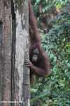 Orangutan on a tree trunk -- borneo_5256