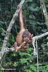 Orphaned orangutan playing with a stick of sugar cane at Sepilok -- borneo_5363