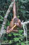 Orphaned orangutan playing with a stick of sugar cane at Sepilok