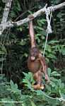 Orphaned orangutan playing with a sugar cane stick at Sepilok