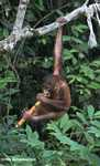 Orphaned orangutan chewing on sugar cane at Sepilok -- borneo_5374