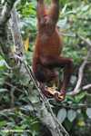 Orangutan hanging by its feet while eating sugar cane -- borneo_5407