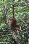 Orangutan hanging by its feet while eating sugar cane