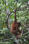 Orangutan hanging by its feet while eating sugar cane -- borneo_5410