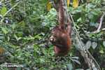 Orangutan hanging by its feet while eating sugar cane -- borneo_5411