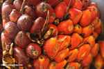 Oil palm fruit -- borneo_6499