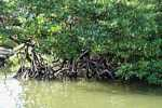 Mangrove forest along the Sabang River