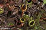 Nepenthes ampullaria pitcher plant